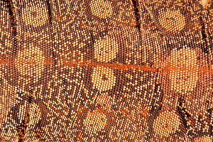 Close up of the scutes, or scales of a Perentie (Varanus giganteus), Alice Springs Reptile Centre, Northern Territory, Australia, Captive. May. - Steven David Miller