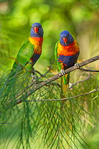 Pair of Rainbow lorikeets (Trichoglossus moluccanus) on a branch, Cania Gorge National Park, Queensland, Australia. September.  -  Steven David Miller