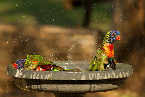 Rainbow lorikeets (Trichoglossus moluccanus) bathing in a bird bath in a campground, Cania Gorge National Park, Queensland, Australia. September.  -  Steven David Miller