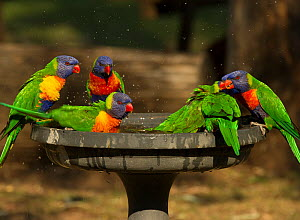 Rainbow lorikeet (Trichoglossus moluccanus) group drinking and bathing in a bird bath in a campground, Cania Gorge National Park, Queensland, Australia. September.  -  Steven David Miller