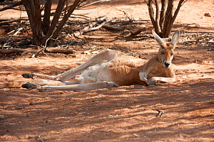 Red Kangaroo (Macropus rufus) male resting in the shade during the heat of the day, Alice Springs Desert Park, Northern Territory, Australia. May. Captive.  -  Steven David Miller
