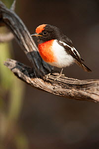 Red-capped Robin (Petroica goodenovii), a banded male, Alice Springs Desert Park, Northern Territory, Australia. May. Captive. - Steven David Miller