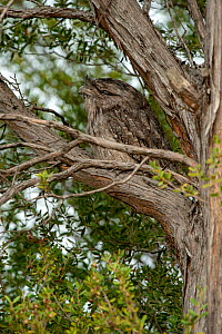 A Tawny frogmouth (Podargus strigoides) sleeping in the nook of a tree, Anglesea, Victoria, Australia. April. - Steven David Miller
