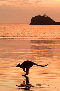 Silhouette of an Agile wallaby (Macropus agilis) hopping along the beach at dusk, Cape Hillsborough National Park, Queensland, Australia. September. - Steven David Miller