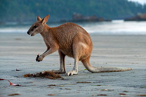 An Agile wallaby (Macropus agilis) chewing on a seed pod washed up on the beach. The wallabies are drawn to the beach at dawn and dusk in search of mangrove seed pods washed ashore and plants growing...  -  Steven David Miller