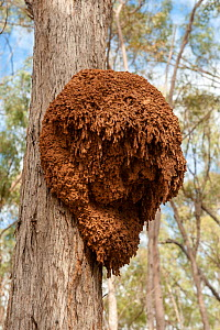 An arboreal termite nest (Order Isoptera) attached to a eucalyptus tree, Cania Gorge National Park, Queensland, Australia.  -  Steven David Miller
