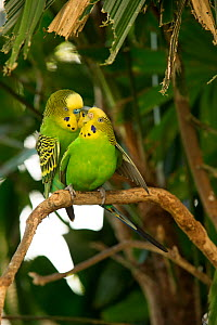Budgerigar (Melopsittacus undulatus) pair nuzzling and mating on a tree branch, Rainforest Dome, Cairns, Queensland, Australia. (Wild morph). Captive. - Steven David Miller
