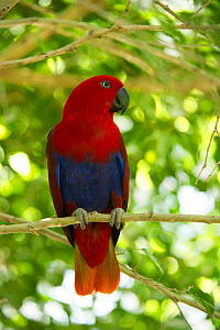 Eclectus parrot (Eclectus roratus) female perched in a tree, The Wildlife Habitat Zoo, Port Douglas, Queensland, Australia. August. Captive.  -  Steven David Miller