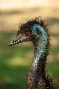Emu (Dromaius novaehollandiae) juvenile, Cleland Wildlife Park, South Australia, March. Captive. - Steven David Miller