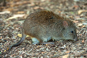 Long-nosed potoroo (Potorous tridactylus) feeding on bird seed fallen from bird feeders which encourages them to come out into open woodland. Fences around the property protect them from feral predato...  -  Steven David Miller