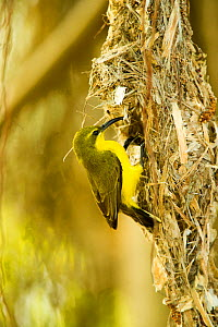 Olive-backed sunbird (Nectarinia jugularis) female returning to her nest with nesting material, Cape Hillsborough National Park, Queensland, Australia, September.  -  Steven David Miller