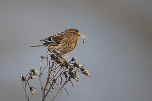 Twite (Carduelis flavirostris), Norfolk, England, UK. January.  -  Robin Chittenden