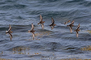 Red-necked phalarope (Phalaropus lobatus) flock in flight over water, Iceland. June.  -  Robin Chittenden