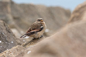 Snow bunting (Plectrophenax nivalis) perched on rock, Iceland. June. - Robin Chittenden