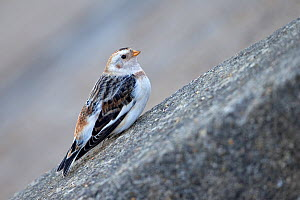 Snow bunting (Plectrophenax nivalis) perched on rock, Norfolk, England, UK. March.  -  Robin Chittenden