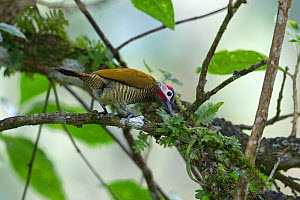 Golden-olive woodpecker (Colaptes rubiginosus) in tree. Trinidad and Tobago.  -  Robin Chittenden