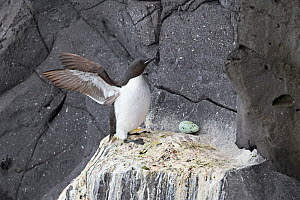 Thick-billed murre (Uria lomvia) and egg on cliff face, Iceland. June. - Robin Chittenden
