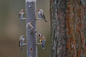 Common / mealy redpoll (Carduelis flammea) and Goldfinch (Carduelis carduelis), group on feeder. Norfolk, UK. March.  -  Robin Chittenden