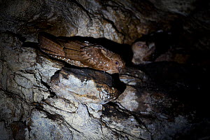 Oilbird (Steatornis caripensis) nesting in cave, Trinidad & Tobago. - Robin Chittenden