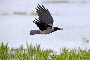 Hooded crow (Corvus cornix) in flight with snail in bill, Romania. May.  -  Robin Chittenden
