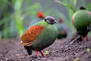 Crested partridge (Rollulus rouloul) female. Captive in  UK. - Robin Chittenden