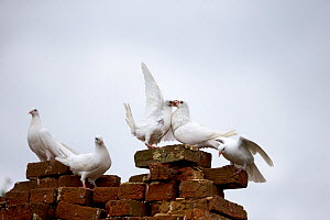 Feral pigeon (Columba livia) group perching on bricks, Suffolk, England, UK. September. - Robin Chittenden