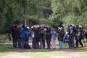 Birdwatchers and twitchers observing Arctic warbler (Phylloscopus borealis) Wells, Norfolk, England, UK. September 2017.  -  Robin Chittenden