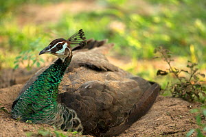 Indian peafowl (Pavo cristatus) female dust bathing. Sri Lanka.  -  Robin Chittenden