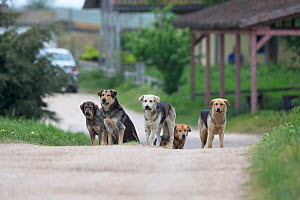 Street dogs (Canis familiaris) pack, Romania. May 2018. - Robin Chittenden