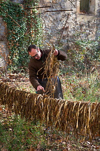 Man drying bark of Paper mulberry (Broussonetia papyrifera) for manufacture of traditional Japanese washi paper, Arles, Camargue, France.  -  Jean E. Roche