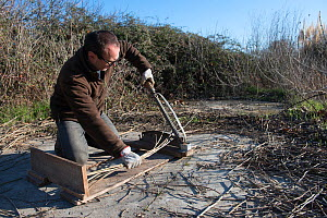 Man cutting branches of Paper mulberry (Broussonetia papyrifera) used for making traditional Japanese washi paper. Arles, Camargue, France. December.  -  Jean E. Roche