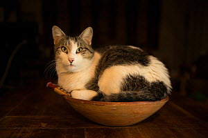 Tabby and white Cat sitting in bowl. - Jean E. Roche