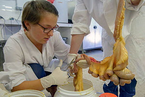 Scientists examining the intestines of Camargue bull, during research into parasites. Camargue. France. - Jean E. Roche