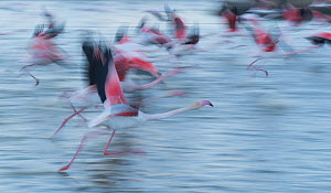 Greater flamingo (Phoenicopterus roseus) taking off, blurred motion, Pont de Gau Ornithological Park, Camargue, France. - Jean E. Roche