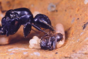 Japanese carpenter ant (Camponotus japonicus) queen helping worker emerging from its pupae. - Nature Production