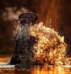 Hippopotamus (Hippopotamus amphibius) splashing in pool in evening light. Mana Pools National Park, Zimbabwe. - Tony Heald
