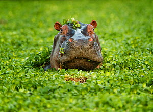 Hippopotamus (Hippopotamus amphibius) in pond, surrounded by Water lettuce (Pistia stratiotes). Mana Pools National Park, Zimbabwe. - Tony Heald