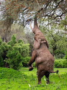 Elephant (Loxodonta africana), male standing on hind legs to reach acacia pods. Cattle egrets (Bubulcus ibis) around elephant's feet. Mana Pools National Park, Zimbabwe.  -  Tony Heald