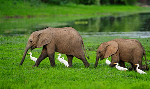 Elephant (Loxodonta africana), two walking through grassland with  Cattle egret (Bubulcus ibis). Mana Pools National Park, Zimbabwe. - Tony Heald
