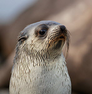 Antarctic fur seal (Arctocephalus gazella), juvenile. Gold Harbour, South Georgia. October.  -  Tony Heald