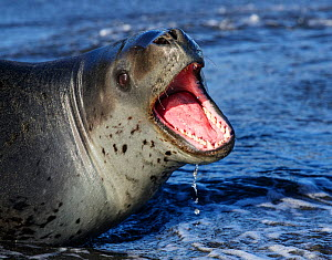 Leopard seal (Hydrurga leptonyx) with mouth open showing aggression, St Andrews Bay, South Georgia. October.  -  Tony Heald