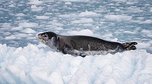 Leopard seal (Hydrurga leptonyx) resting on ice floe near Twitcher Glacier, South Georgia. October.  -  Tony Heald