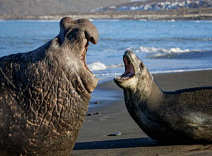 Leopard seal (Hydrurga leptonyx) and Southern elephant seal  (Mirounga leonina) male, threatening each other. St Andrews Bay, South Georgia. October.  -  Tony Heald