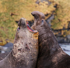 Southern elephant seal (Mirounga leonina), two males fighting. Gold Harbour, South Georgia. October. - Tony Heald
