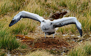 Wandering albatross (Diomedea exulans), chick exercising wings on nest. Prion Island, Bay of Isles, South Georgia. October.  -  Tony Heald