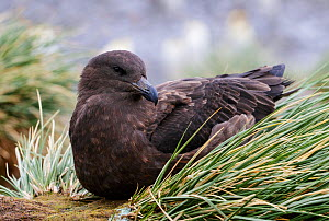 Brown skua (Stercorarius antarcticus) resting on tussock grass. Right Whale Bay, South Georgia. September. - Tony Heald