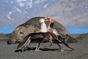 Southern giant petrel (Macronectes giganteus) fighting with Northern giant Petrel (Macronectes halli). Southern elephant seal  (Mirounga leonina) male observing in background. St Andrews Bay, South Ge... - Tony Heald