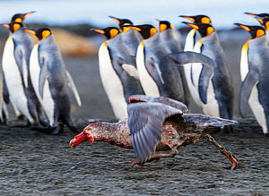 Northern giant petrel (Macronectes halli) running with bloodied beak, King penguins (Aptenodytes patagonicus) in background. St Andrews Bay, South Georgia. September. - Tony Heald
