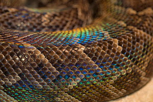 Rainbow boa (Epicrates cenchria cenchria) showing iridescence of the scales. Captive, occurs in  Central and South America. - Roland  Seitre