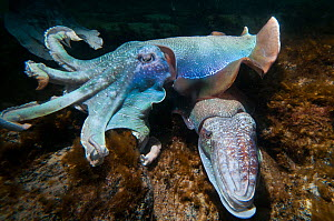 Giant cuttlefish (Sepia apama) two on sea floor, Whyalla, South Australia  -  Roland  Seitre